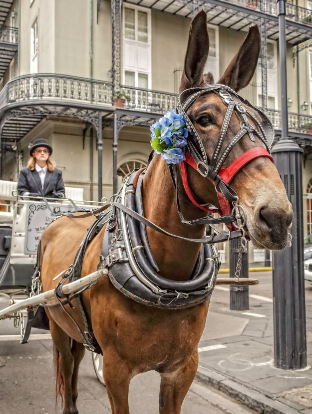 Royal Carriages New Orleans-2878.jpg